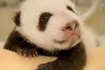 Юная панда Колбаска делает первые шаги