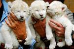В Крыму родилась тройня белых львят