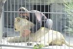 В знаменитом запорожском зоопарке из-за холодов львы стали больше есть