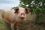 Украинцев заставят регистрировать свиней