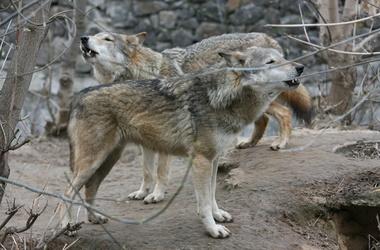 Украинцев атакуют волки