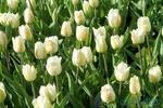 На певчем поле открывается выставка тюльпанов