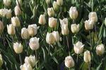 Киевлян, которые будут вытаптывать тюльпаны на Певческом поле, отгонят вениками