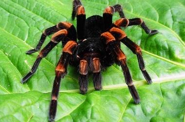 ядовитые пауки украины фото