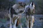 Украинцы спасаются от нашествия волков петардами