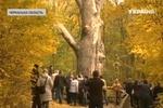 Старейшее дерево в Украине может погибнуть