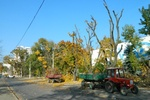 """В Одессе массово срезают деревья. Горожане: """"Бульвар теперь изуродован!"""""""