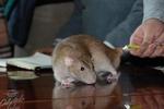 Крысиные бега в Одессе: Чубакабра, Фрейд и Сократ соревновались, у кого длиннее хвост
