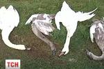 На Днепропетровщине пьяные мажоры ради забавы расстреляли лебедей