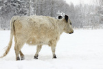 Рекордные снегопады в США убивают скот