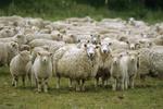 150 молдавских овец пересекли украинскую границу в поисках более вкусной травы