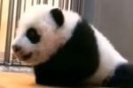 В зоопарке Тайпея показали первую рожденную на Тайване панду