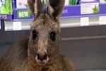 В аэропорту Мельбурна раненый кенгуру сам пришел в аптеку