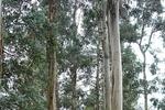 Ученые обнаружили деревья, в листьях которых содержится настоящее золото