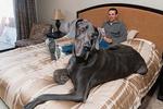 В США умер самый большой в мире пес
