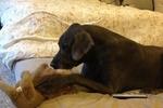 В США умерла самая большая собака в США