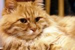 Помогите спасти пушистого рыжего кота