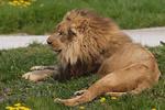 В Сирии жители съели льва из зоопарка