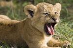 Родившиеся в Крыму львята и тигрята останутся зимовать в сафари-парке