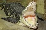 Нашествие крокодилов в Крыму: нильских в день родилось 77 штук, а гавиалов на планете всего 150