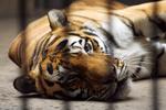 В Шанхае тигр съел смотрителя зоопарка