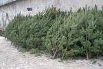 В Харькове за метровую елку просят от 50 до 80 гривен