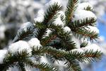 Главную елку Днепропетровска сделают из непригодной сосны