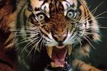 В Италии любитель конопли случайно подобрал на улице тигра
