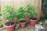 Британец обратился в полицию, чтобы они нашли его марихуану