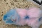 В севастопольском зоомагазине продавцы перекрашивали морских свинок