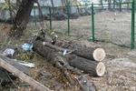 В центре Киева массово уничтожают деревья – прокуратура
