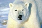 В американском зоопарке замерз белый медведь