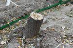 В Киеве вырубили поляну с многолетними дубами