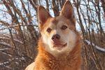 Пес-красавец Рыжий ищет теплую будку и доброго хозяина