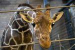 В датском зоопарке убили и расчленили жирафа на глазах у детей