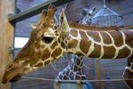 В Дании могут убить еще одного жирафа