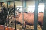 Зоопарк Януковича может превратиться в молочную ферму