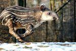 Тапир Карандаш из Киевского зоопарка попадет в музей