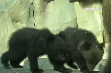 Как выглядят юные медвежата в Киевском зоопарке