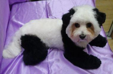 В Южном болонку перекрасили в панду