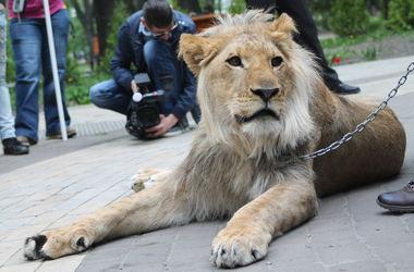 Как по Киеву гулял лев с огромными зубами