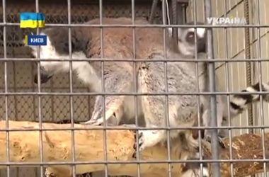 В Киевский зоопарк привезли лемуров Тусю и Дусю, звери обожают изюм и бананы