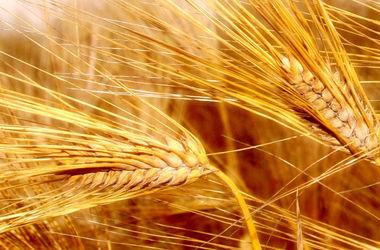 Из-за насилия в Украине в мире рекордно подорожала пшеница