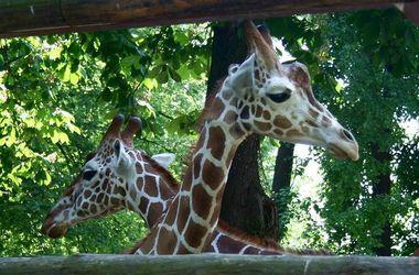В Киевском зоопарке отпразднуют День жирафа