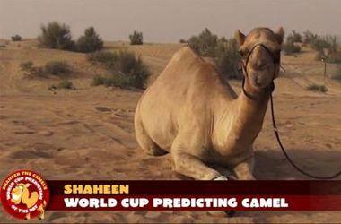 Верблюд Шахин дает безошибочные прогнозы на матчи ЧМ-2014