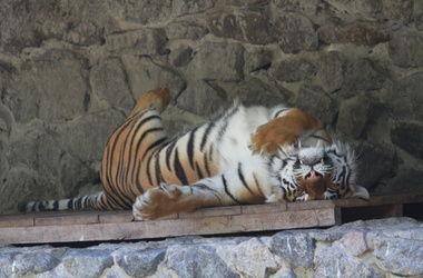 В Киевском зоопарке мужчина бросился в вольер с тиграми