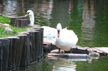 У лебедей в парке Горького - пополнение