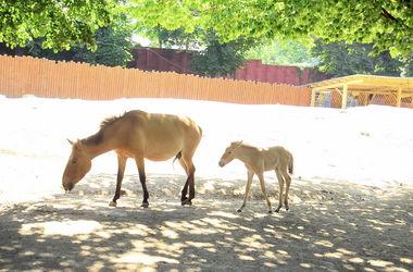 В Киевском зоопарке родился жеребенок Пржевальского