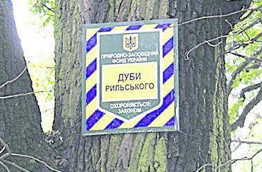 В киевском парке сломался дуб Рыльского