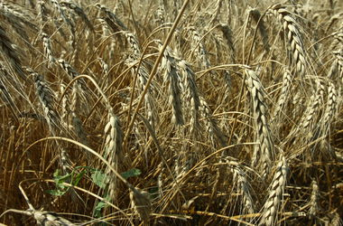 В Украине заметно сократились запасы зерна